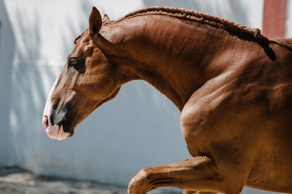 Stunning Chestnut Stallion