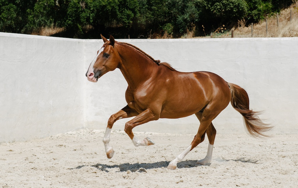 Stunning Chestnut Stallion – Lusitano Horse Finder
