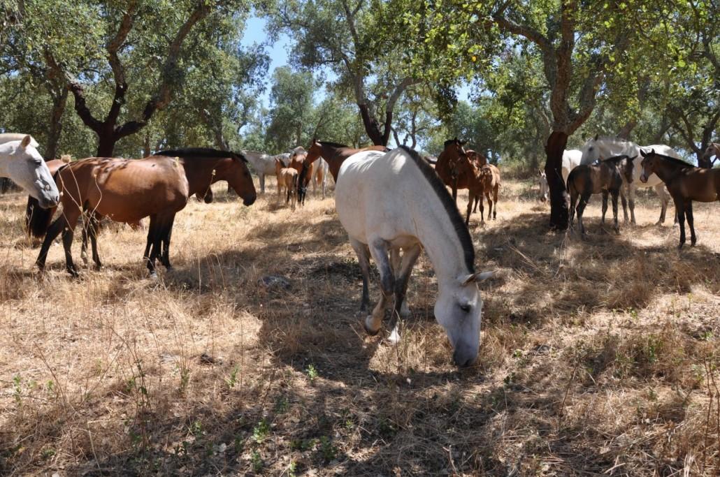 mares under cork oaks