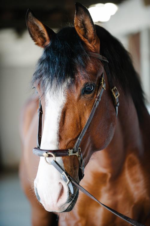 shire horse kaufen deutschland