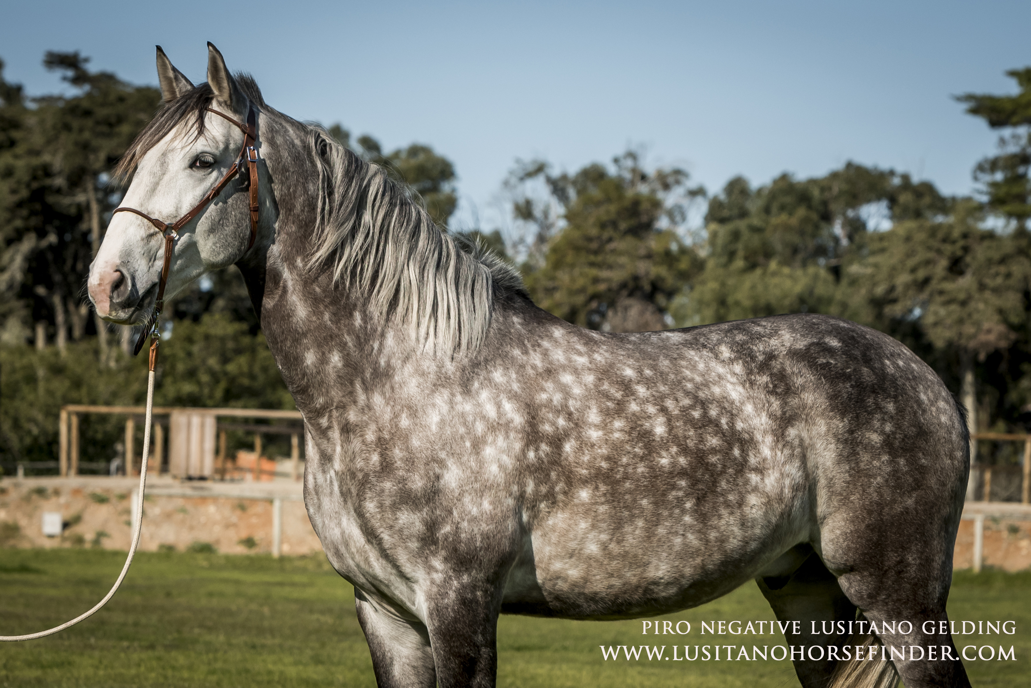 Dapple Grey Gelding
