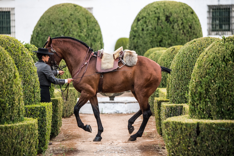Lusitano Heritage At Ducal Palace Lusitano Horse Finder